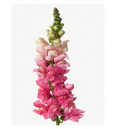 FLOWERBX FOR SELFRIDGES Snapdragons bunch of 20 (Cotton+candy