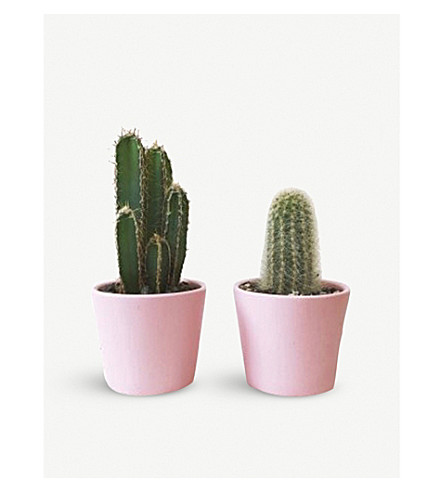 BARRY THE CACTUS Pink Candy pot and plant 7cm