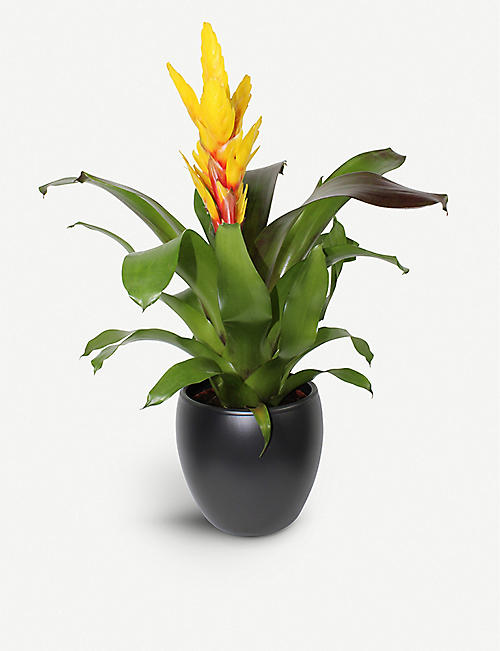 MOYSES STEVENS: Bromeliad Vriesea Intenso Yellow potted plant 20cm