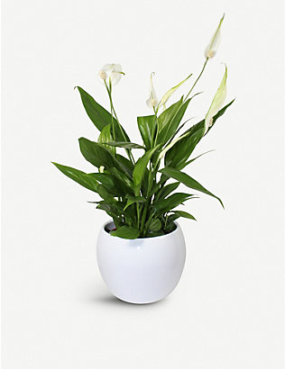 MOYSES STEVENS: Peace Lily potted plant 40cm