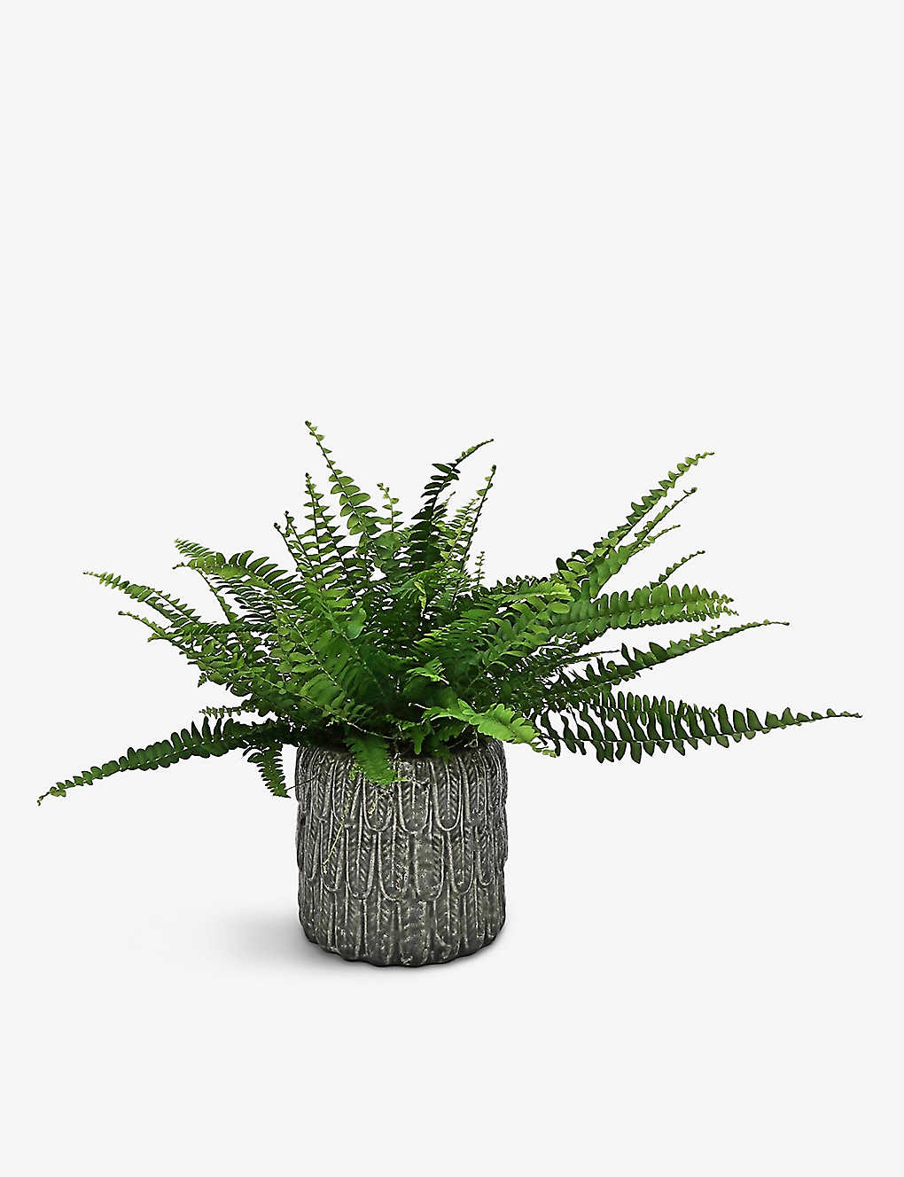 YOUR LONDON FLORIST: Exclusive Boston Fern potted plant