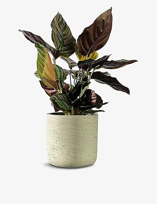 CANOPY PLANTS: Exclusive Calathea Ornata plant with ceramic pot
