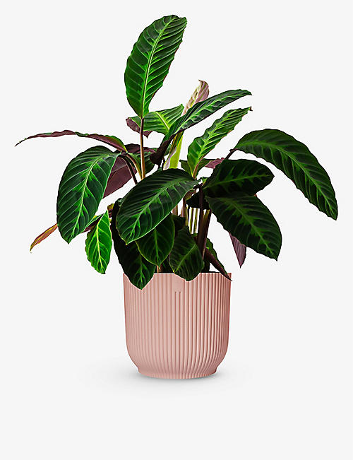 CANOPY PLANTS: Exclusive Calathea Warscewiczii plant with ceramic pot
