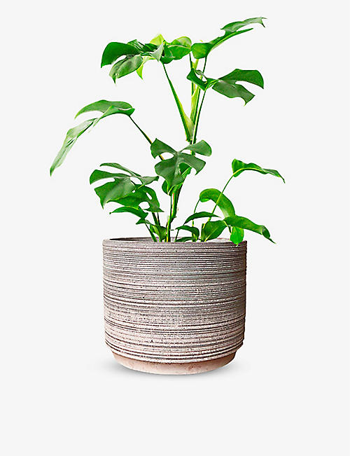 CANOPY PLANTS: Exclusive Monstera Minima plant with ceramic pot