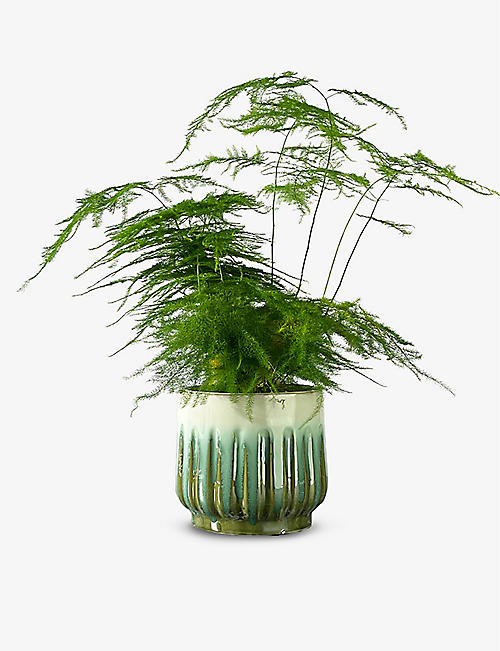 CANOPY PLANTS: Asparagus Fern plant and ceramic pot