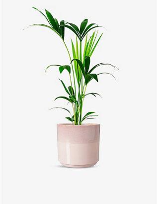 CANOPY PLANTS: Howea Forsteriana plant with ceramic pot