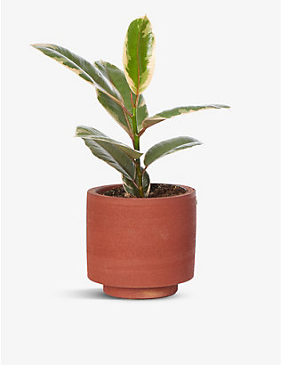 CANOPY PLANTS: Exclusive Ficus Elastica Belize plant with ceramic pot