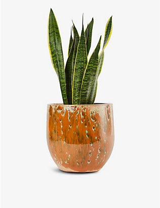 CANOPY PLANTS: Exclusive Sansevieria plant with ceramic pot