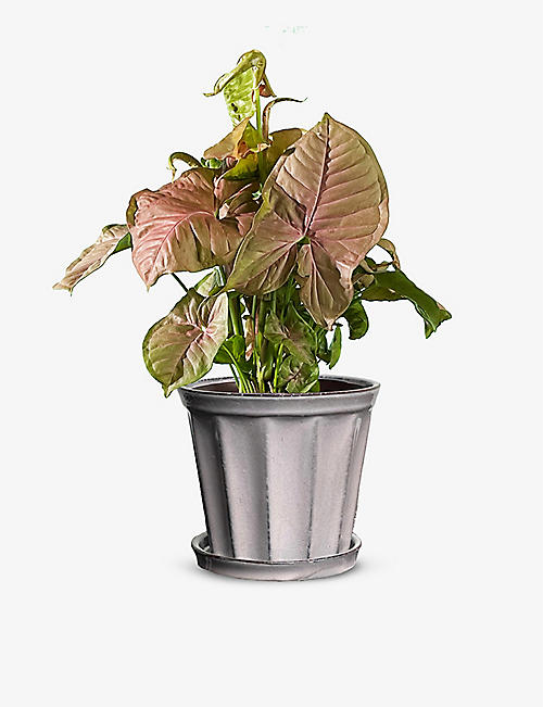 CANOPY PLANTS: Synogonium plant with hand-painted pot