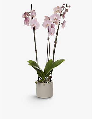 YOUR LONDON FLORIST: Exclusive Soft Pink Orchid with ceramic pot