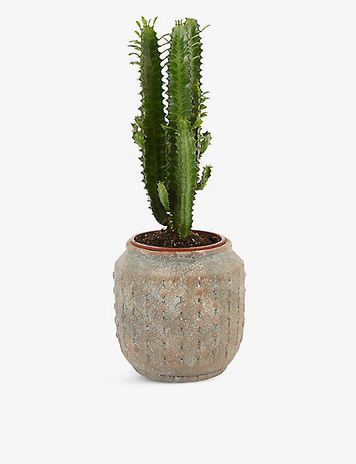 MOYSES STEVENS: African Milk Tree potted plant 50cm