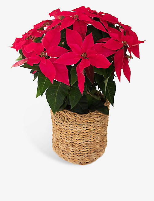 YOUR LONDON FLORIST: Red Poinsettia plant in basket 45cm