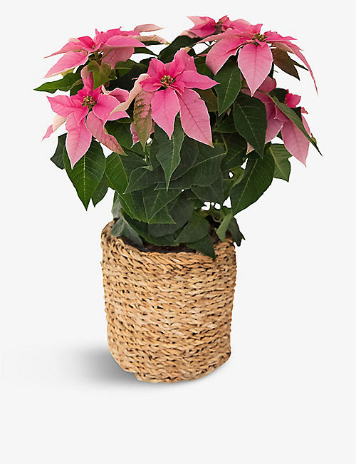 YOUR LONDON FLORIST: Pink Poinsettia plant in basket 45cm