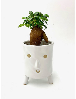 CANOPY PLANTS: Ficus Microcarpa Ginseng with ceramic pot