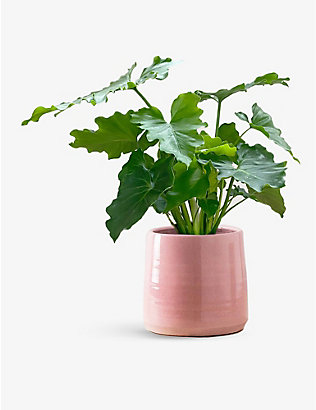 CANOPY PLANTS: Philodendron Shangri La with ceramic pot