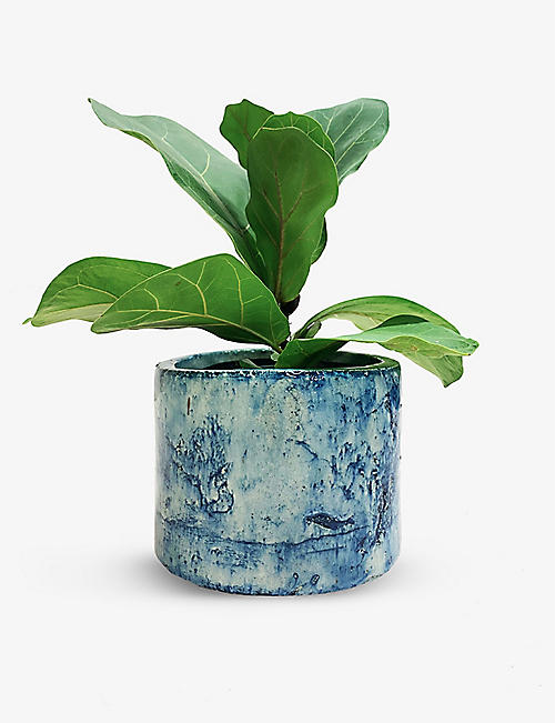 CANOPY PLANTS: Exclusive Ficus Lyrata Bambino with ceramic pot
