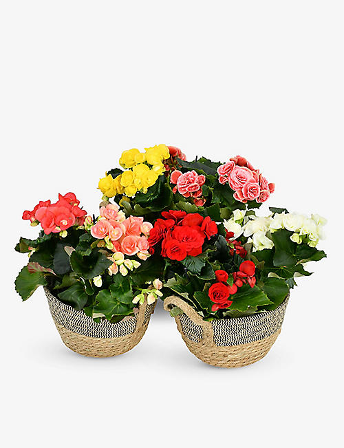 MOYSES STEVENS: Mixed-colour begonia bulb set