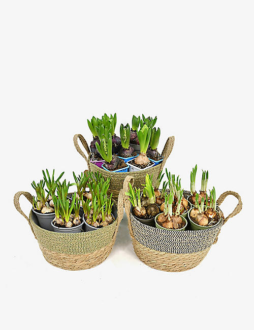 MOYSES STEVENS: Mixed bulb planter set