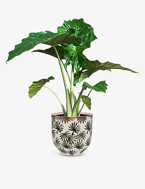 CANOPY PLANTS: Exclusive Alocasia Portodora plant with ceramic pot