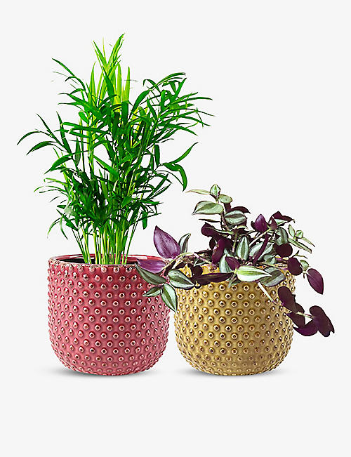 CANOPY PLANTS: Beginner's Pair Purple Tradescantia Zebrina and Parlour Palm with nursery pots